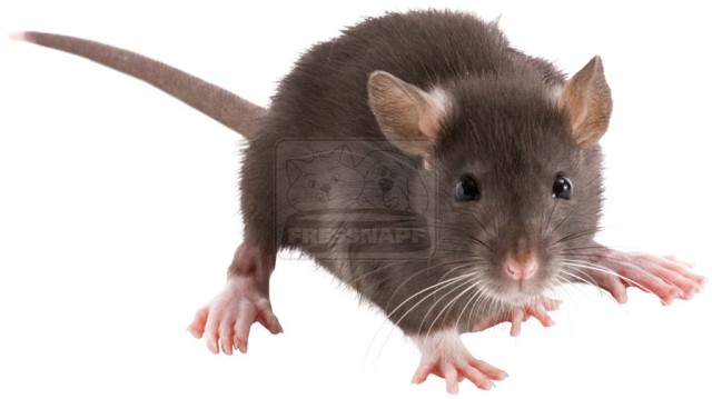 Színek és minták: a patkányok színpompás világa