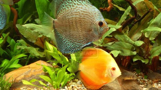 Édesvízi akváriumba való halak