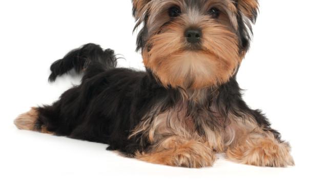 Hogyan válasszunk és vásároljunk kutyát?