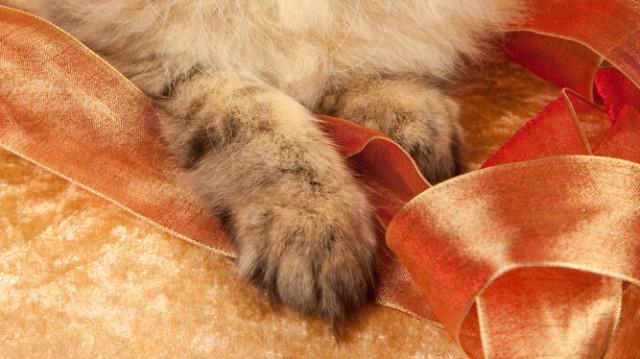 Az elbűvölő perzsa macska