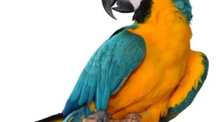 Hogyan tanítsuk meg beszélni a papagájt?