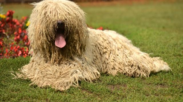 A legősibb magyar kutyafajta, a komondor!