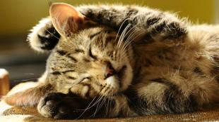 Tavaszi vedlés a macskáknál