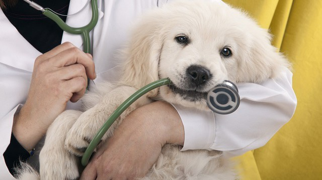 A kutya műtét utáni rehabilitációja