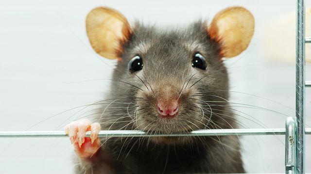 Okos és barátkozós: a patkány mint háziállat
