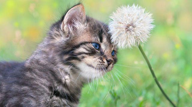 Mire jó a macskamenta?