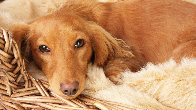 5 kistestű kutyafajta benti tartáshoz