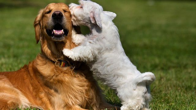 Kutyák egymást közt – meddig játék és mikortól küzdelem?