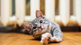 Macskajaj: támad a fülatka!