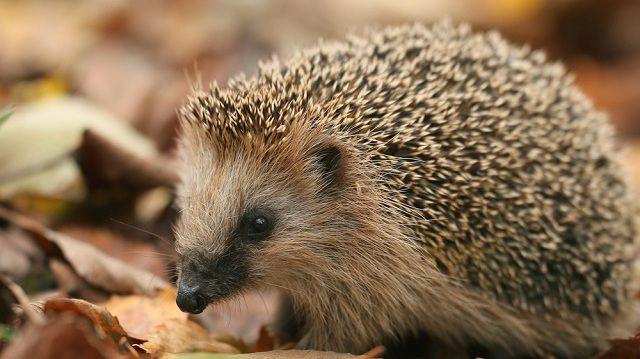 Tüskés hátú őszi vendég: mi a teendő, ha süni költözik a kertbe?