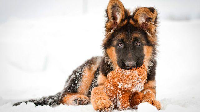A hosszú szőrű kutya és a hó esete