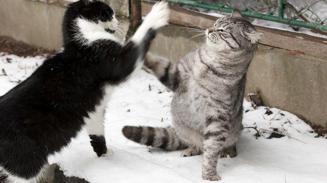 Kandúrháború, így óvd meg harcos kedvű cicádat