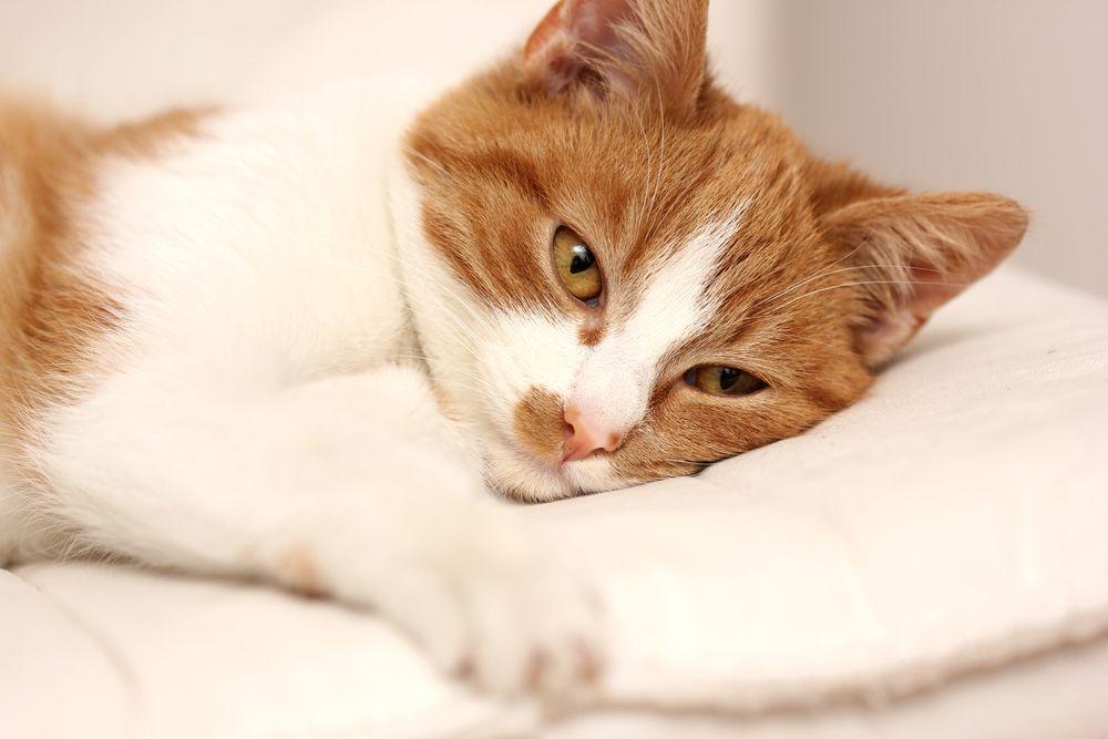 macska parazita tünetei