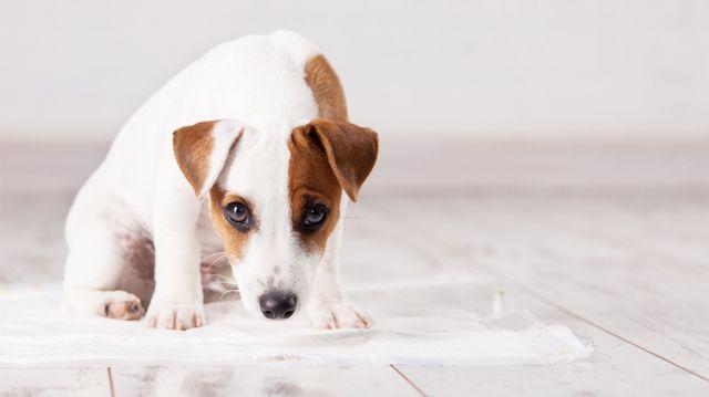 Hogyan szoktassuk pelenkára kutyusunkat?