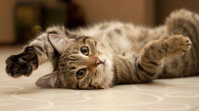 Hogyan szórakoztassa macskáját otthon?