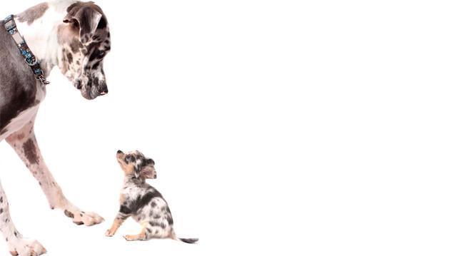 Kölyök bemutatása idősebb kutyának