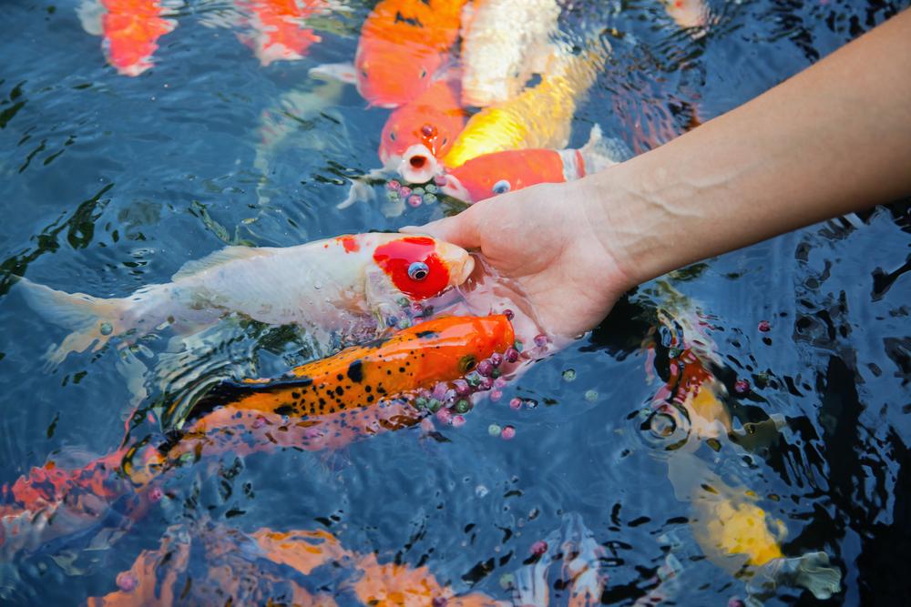 Tavi halak lakomája