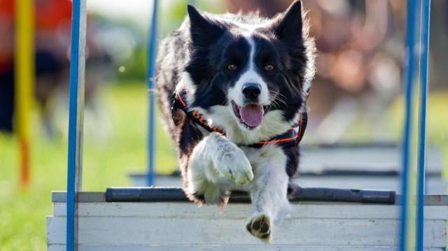 Az 5 legideálisabb kutyafajta agility-hez