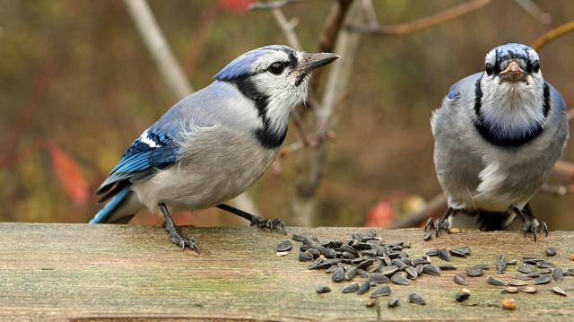 Rendhagyó vacsora szárnyasoknak: díszítsük eleséggel a fenyőtobozt!