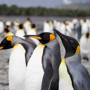 A Norvég Királyi Őrség lovaggá ütött egy edinburgh-i pingvint…