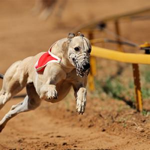 A leggyorsabb kutya az agár…
