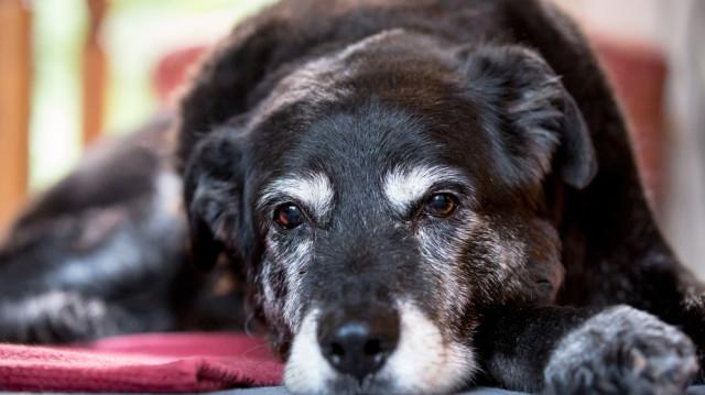 Természetes táplálás idősödő kutyusoknak
