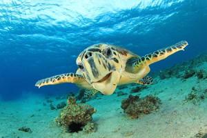 Némely teknősök képesek a fenekükön keresztül is lélegezni.