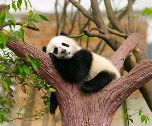 Kínában a pandavadászatért és prémkereskedésért 1997-ig halálbüntetés járt.