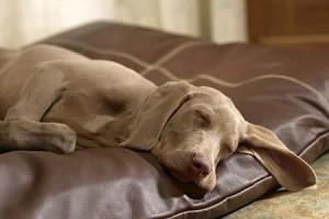 A nagyobb kutyák minden 45-60 percben álmodnak…