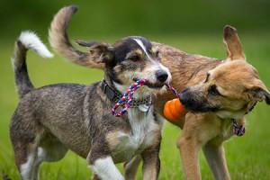 Játék közben a kan kutyák nem élnek az erőfölényükkel…
