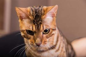 A világ egyik legdrágább macskája a bengáli…
