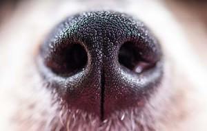A kutyák orra az emberekénél átlagosan ezerszer érzékenyebb…