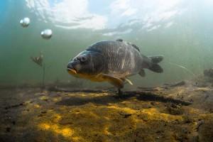 A halak is le tudnak égni. Ilyenkor a testüket védő nyálkaréteg vékonyodik el…