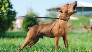 Kedvencünk őrjöng a póráz végén, amikor másik kutyát lát?