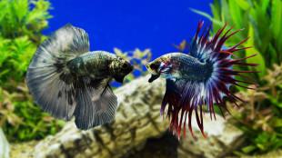 Béke az akváriumban: fajtakalauz haltartóknak