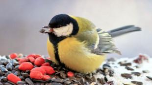 Miért etessük egész télen át a vadon élő madarakat?