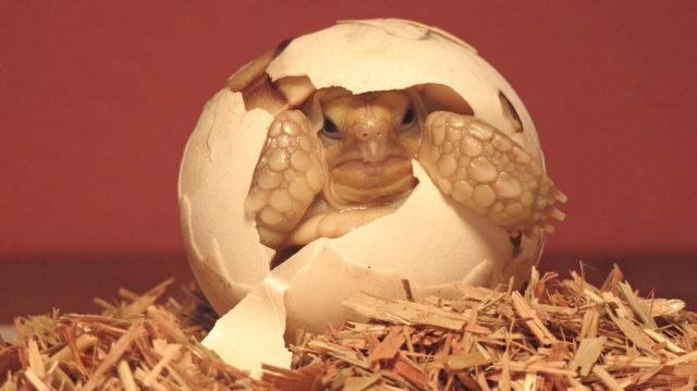 Segítség: a teknősöm tojást rakott!