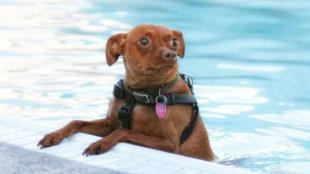 Hogyan szoktassunk vízhez egy víziszonyos kutyát?