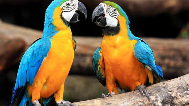 Csacsogó csőrösök: 5 népszerű beszélő papagáj