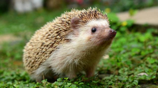 Kis kerti barátok: mit tegyünk, ha sün lakik az udvarunkban?