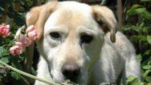 Titusz labrador retriever gazdát keres