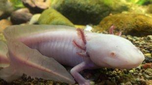 Hihetetlen kétéltűek: az axolotl