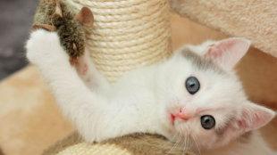 Hiperaktív cicák a lakásban: mire figyeljünk?