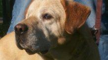 Dömötör labrador retriever gazdát keres