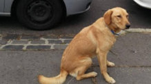 Hatchiko labrador retriever jellegű gazdát keres