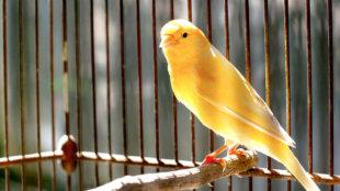 A kanárik titkos élete: minden, amit a madarakról tudni szeretnél