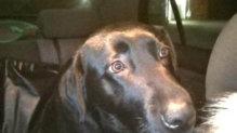 Mona labrador retriever gazdát keres