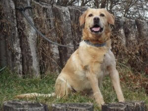 Armanda labrador retriever gazdát keres