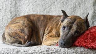 Hogyan készüljünk menhelyi/mentett kutya befogadására?
