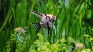 Az akvárium új lakója: a vitorláshal (Pterophyllum scalare)